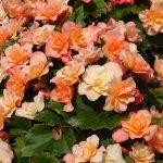 Dni Otwarte Volmary 2019_Begonia ×elatior Sunpleasure 'Apricot'