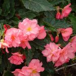 Dni Otwarte Volmary 2019_Begonia ×tuberhybrida Belina 'Pink'
