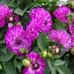 Dni Otwarte Volmary 2019_Dahlia ×hortensis Lubega Power 'Violet Bicolor'