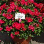 Pelargonium Grandeur Pure Neon Rose
