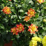 Dni Otwarte Volmary 2019_Dahlia ×hortensis Lubega Special 'Orange Bicolor'