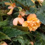 Begonia ×tuberhybrida Rosana 'Apricot Yellow'