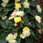Dni Otwarte Volmary 2019_Begonia ×tuberhybrida Beluga 'Lime'