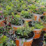Kompozycja Autumn Checkies® Yellow Joy: Calocephalus brownii 'Silver Bush', Muehlenbeckia 'Minero', Sedum hybridum 'Winter Lemon'