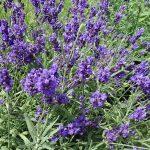Lavandula angustifolia Vienco 'Purple'
