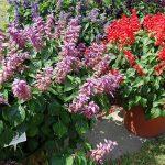 Salvia splendens - odmiany z grupy Gigantimo