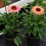 Echinacea SunSeekers Rainbow