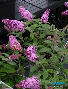 Buddleja Rocketstar Flamingo