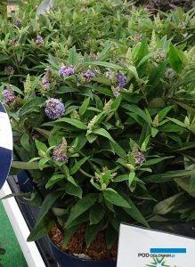 Plantarium 2019_Buddleja Blue Sarah