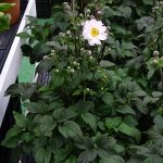 Anemone hupehensis Snow Angel,