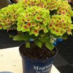 Hydrangea macrophylla Magical Green Delight