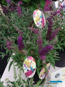 Buddleja davidii Summer Teens Mats Magic Red