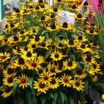Rudbeckia hirta SmileyZ Star of Life