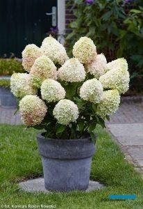 Hydrangea paniculata LIVING SUMMER LOVE