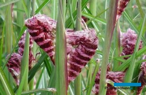 Miscanthus sinensis 'Boucle', fot. Konkurs Roślin Nowości