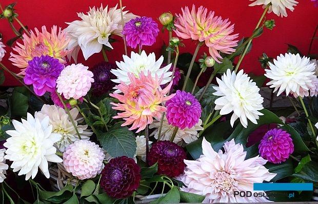 Holland Dahlia Event, czyli Holenderskie Dni Dalii są okazją do zapoznania się z bogatym asortymentem odmian dalii, ktore nabierają znaczenia w uprawie na kwiaty cięte