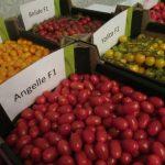 Koktajlowe odmiany pomidorów z Syngenty - Bambelo, Belido, Angelle i Yolita