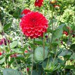 Dahlia_Red Symphony_kulista