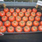 Owoce pomidora Enroza na wytłoczkach - taki produkt wkrótce będzie można nabyć w sklepach sieci Auchan