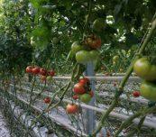 Pomidory malinowe Enroza w szklarni Joanny i Sebastiana Janasów