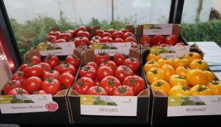Ekspozycja wielkoowocowych pomidorów marki De Ruiter