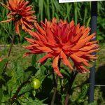Dahlia 'Autumn Orange'- odmiana z grupy kaktusowych i półkaktusowych