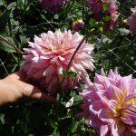 Dahlia_Strawberry Ice_dekoracyjny