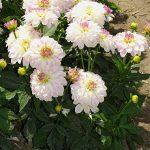 Dahlia_'Gallery Monet' - odmiana karłowa o kwiatostanach dekoracyjnych