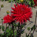Dahlia Karma 'Red Corona'