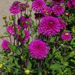 Dahlia_Purple Fox_CNB_kuliste