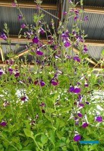 Salvia ×jamensis AMETHYST LIPS_Innovert®_Salon du Vegetal 2019