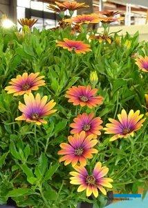 Osteospermum 'Purple Sun_Innovert®_Salon du Vegetal 2019