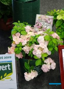 Hydrangea 'French Bolero'_Innovert®_Salon du Vegetal 2019