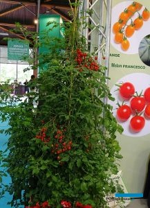 Pomidor Perlino F1_Salon du Vegetal 2019
