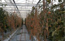 Elektrolizowana woda (ECA) – nowa skuteczna metoda dezynfekcji systemów nawadniających w uprawach pod osłonami