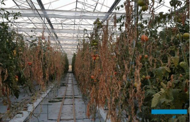Plantacja pomidorów zaatakowana przez rak bakteryjny