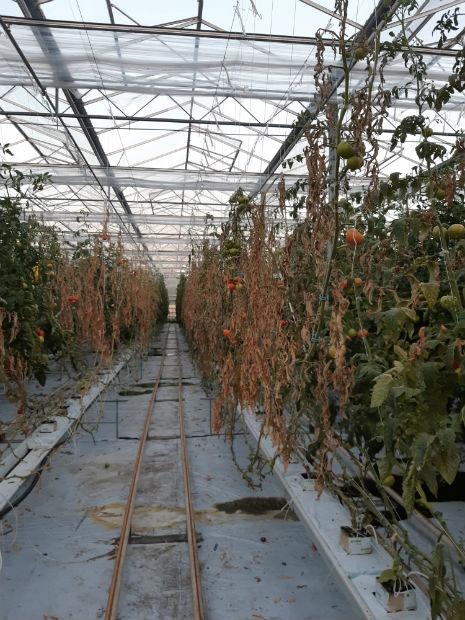 Plantacja pomidorów zaatakowana przez raka bakteryjnego