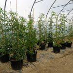 Pomidory szczepione na ziemniaku rosną w dużych donicach i wymagają wysokich podpór, fot. A. Wize