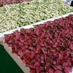 Hypoestes_Yalova Fide_Flower-Show-Istanbul 2019