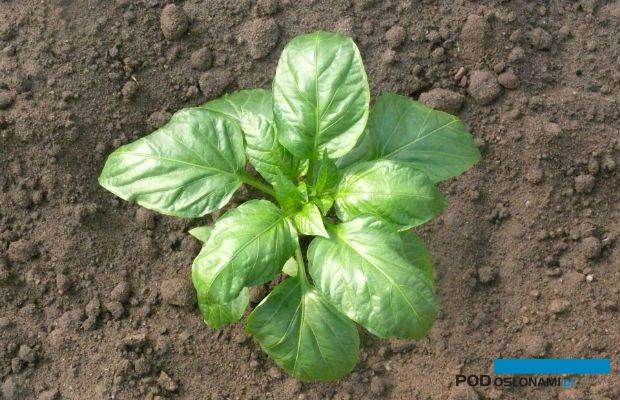 Roślina papryki kilka dni po posadzeniu na miejsce stałej uprawy