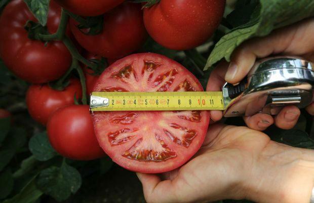 Wielkoowocowy pomidor malinowy Manistella