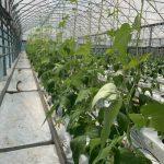 Bezglebowa uprawa fasoli płaskostrąkowej 1 maja 2019 r.