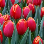Tulipan_Verandi
