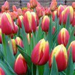 Tulipan_Dow Jones