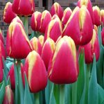 Tulipan_Denmark