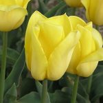 Tulipan 'Strong Gold'