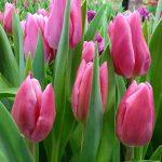 Tulipan_Jumbo Pink