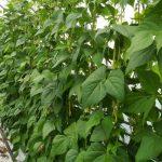Plonowanie fasoli w uprawie bezglebowej - 21 maja 2019