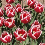 Tulipan 'Leen van der Mark