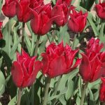 Tulipan_Pretty Woman